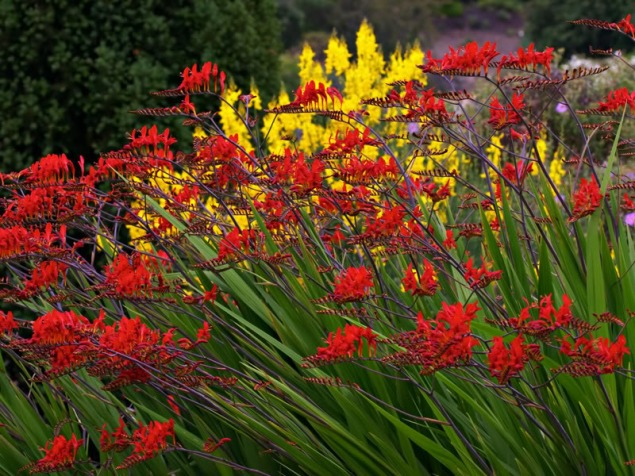 crocosmia_lucifer2