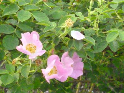 rosa2_giugno