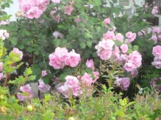 rosa3_giugno