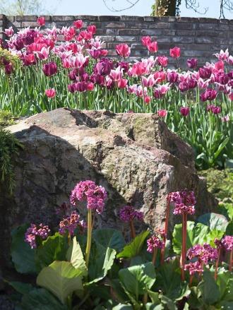 tulipabalaldeNegrita_Bergenia