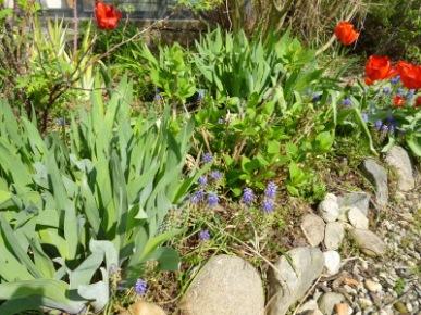 iris tulipani e muscari