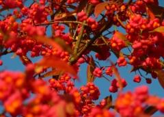 Euonymus-Europaeus-in-autumn2