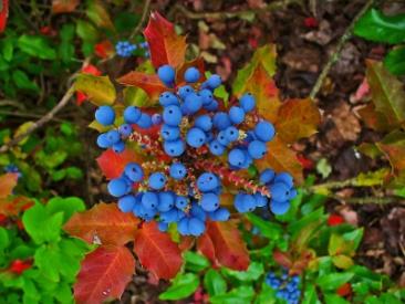 Mahonia_aquifolium_004