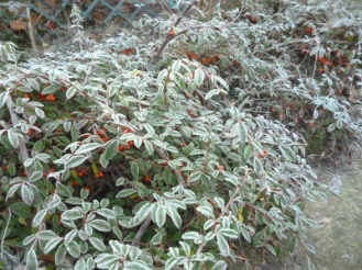 cotoneaster_010117
