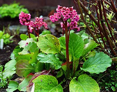 bergenia-cordifolia