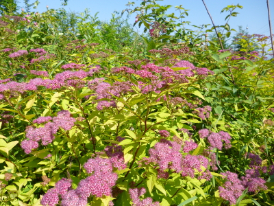 spirea_goldflame